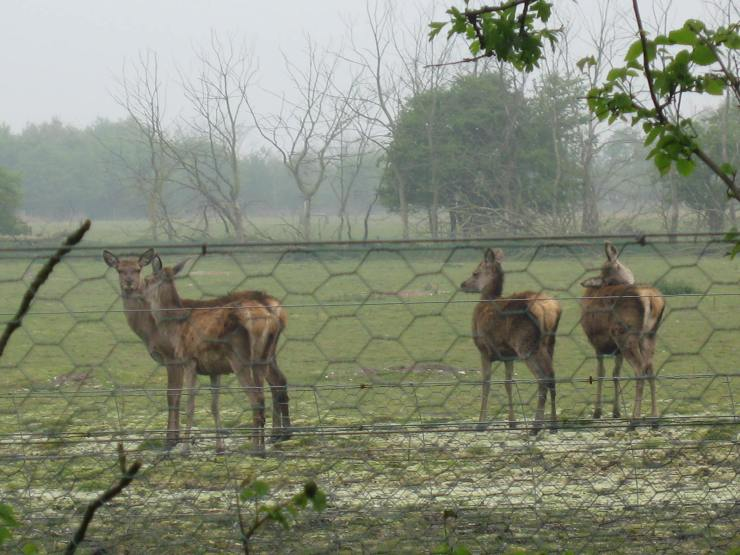 Deer near Minsmere